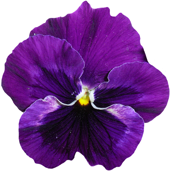pansy flower cutout