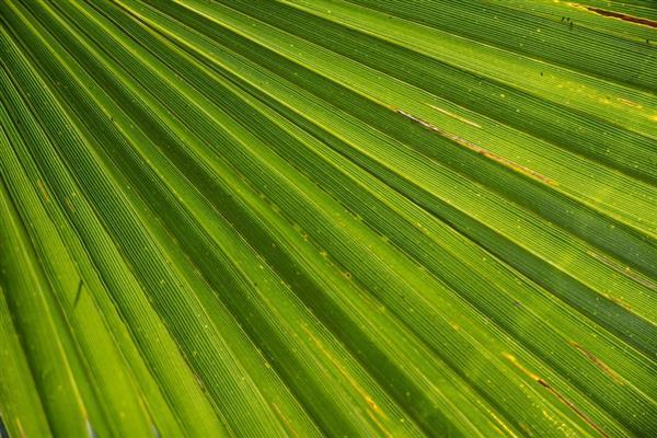 Palm leaf closeup texture