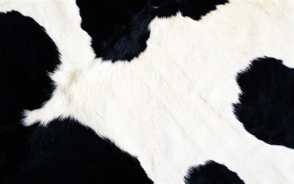 Background Cow Fur Texture
