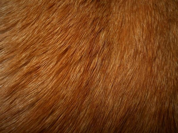 Cat Orange Fur Texture