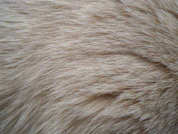 Cat White Fur Stock Texture