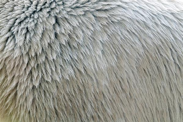 Fur pattern texture polar bear