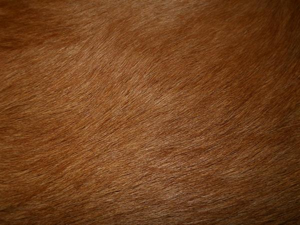 Golden Retriever Fur Texture Free