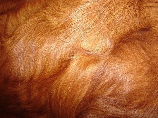 Red Retreiver Dog Fur Texture Free
