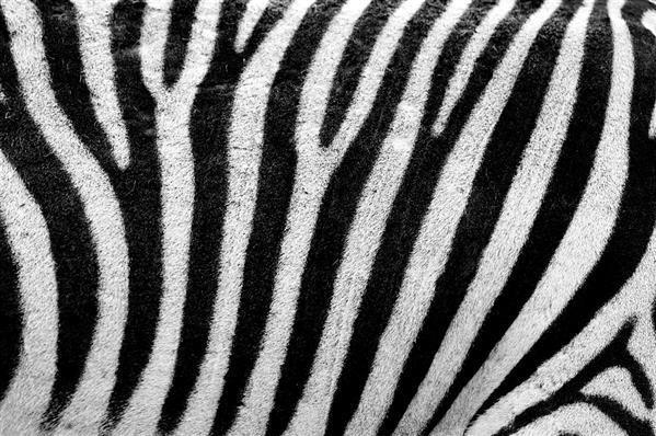Zebra Africa animal background