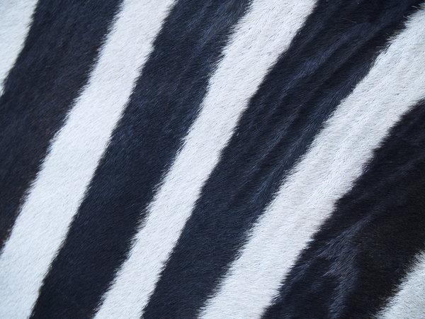 Zebra Fur Background Stripes