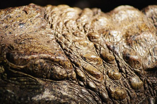 Caimans