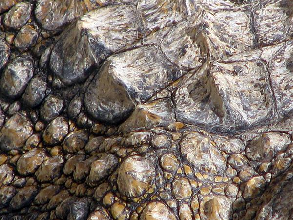 Crocodiles skin_0566 by sgsprzem photoshop resource collected by psd-dude.com from flickr