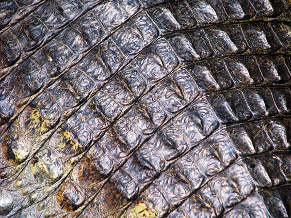 Crocodiles skin_4086 by sgsprzem photoshop resource collected by psd-dude.com from flickr