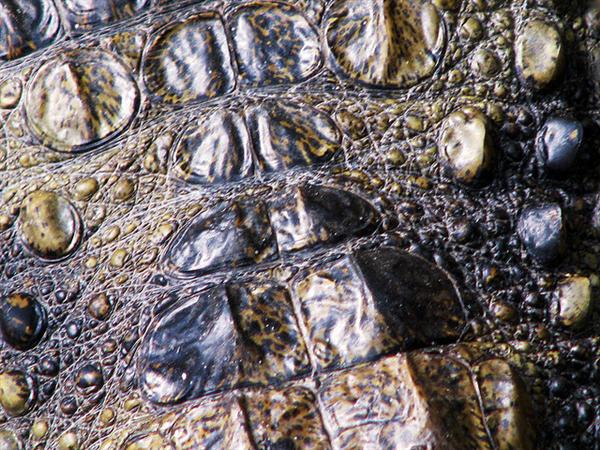 Crocodiless skin_4088 by sgsprzem photoshop resource collected by psd-dude.com from flickr