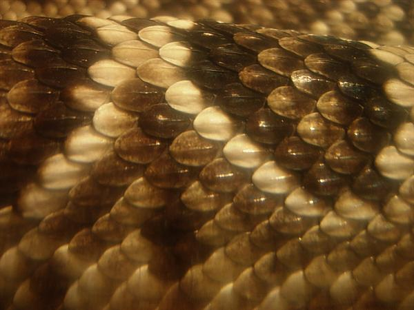rattlesnakescalesjpg by crowolf photoshop resource collected by psd-dude.com from flickr